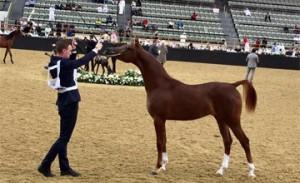 Bahrain shines in Int'l Arabian Horse Beauty Show